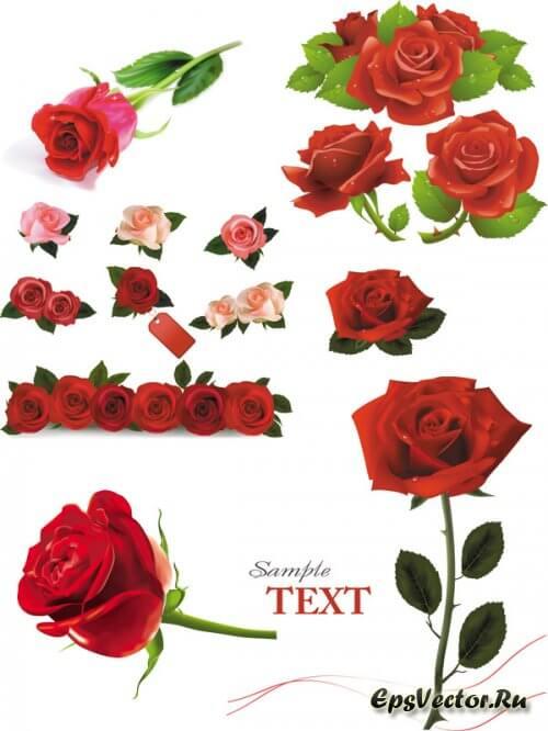 Розы в векторе