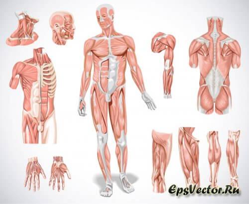 Анатомия в векторе